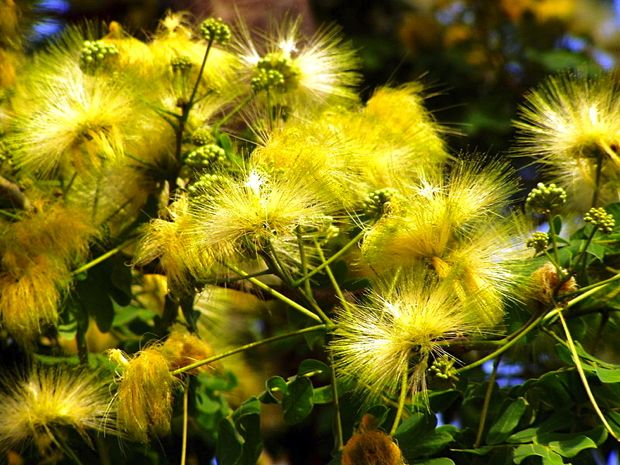 saman flower
