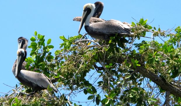brown_pelicans2