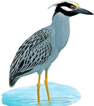 plate9---night-heron
