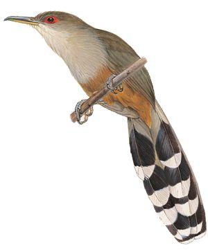 lizard-cuckoo_2