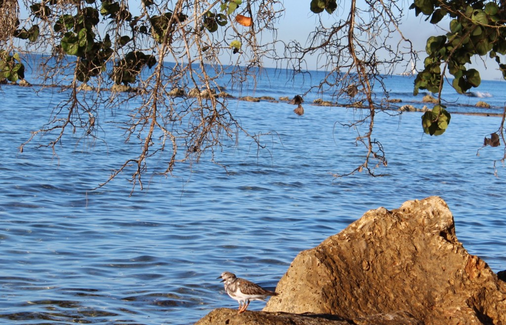 Ruddy Turnstone Minitas Beach