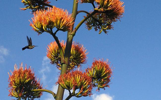Vervain Hummingbird agave
