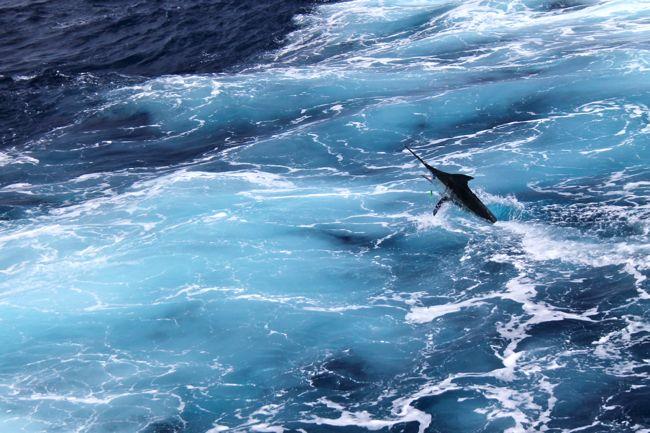 Blue_Marlin_season_4