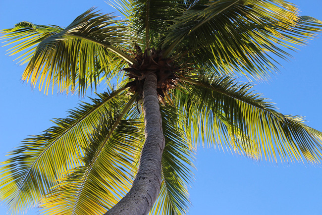 Coconut tree palm
