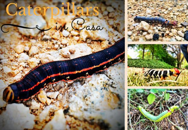 Caterpillars in Casa