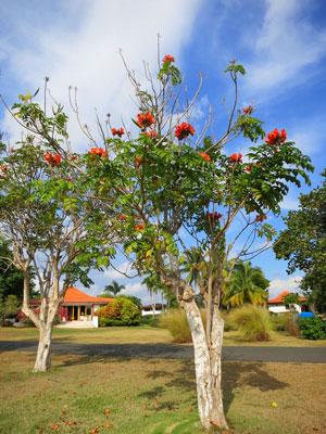 African tulip tree, Casa de Campo